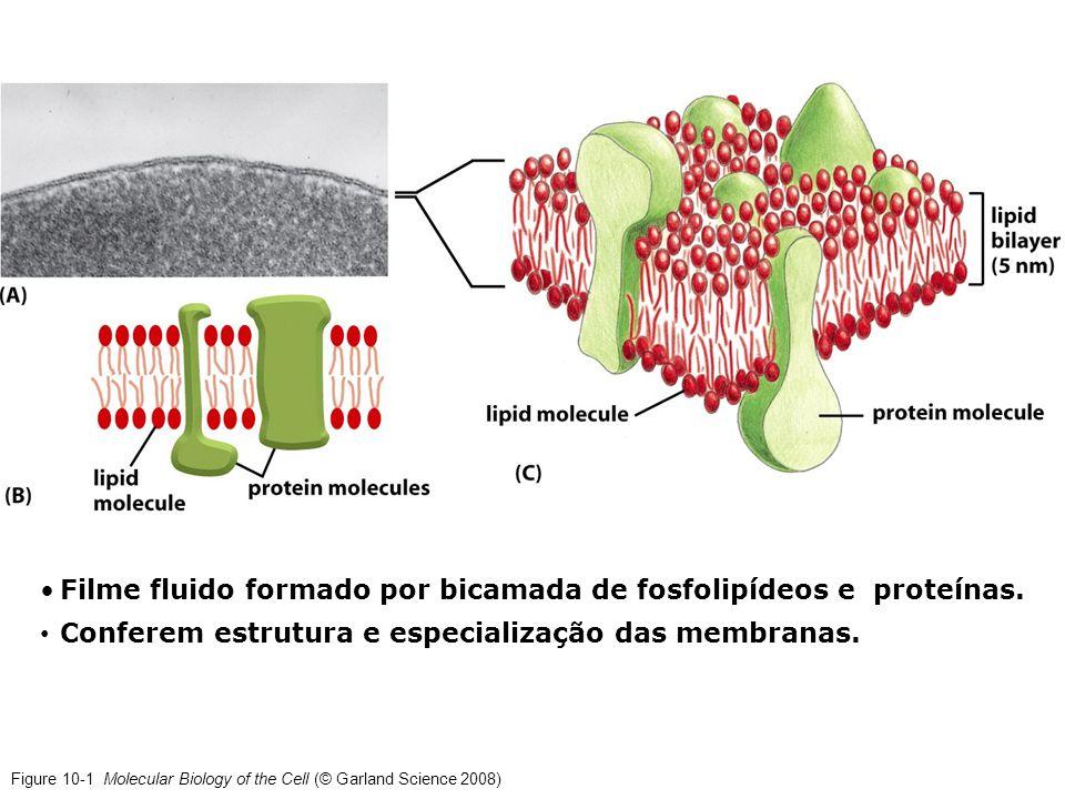 Filme fluido formado por bicamada de fosfolipídeos e proteínas.