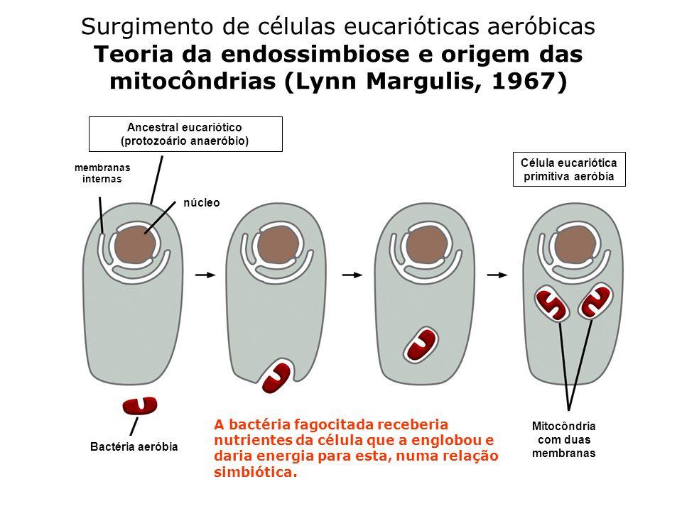 Surgimento de células eucarióticas aeróbicas Teoria da endossimbiose e origem das mitocôndrias (Lynn Margulis, 1967)