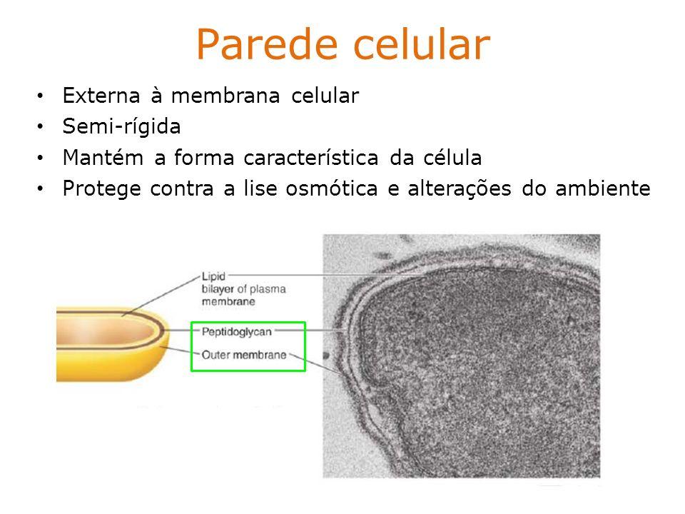 Parede celular Externa à membrana celular Semi-rígida