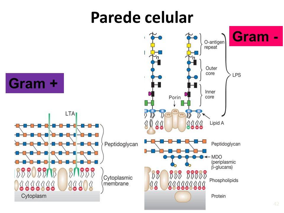 Parede celular Gram - Gram +