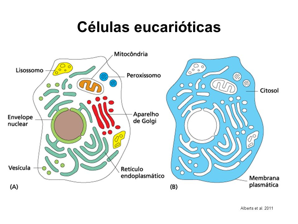 Células eucarióticas Alberts et al. 2011