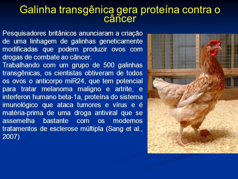 Galinha transgênica gera proteína contra o câncer