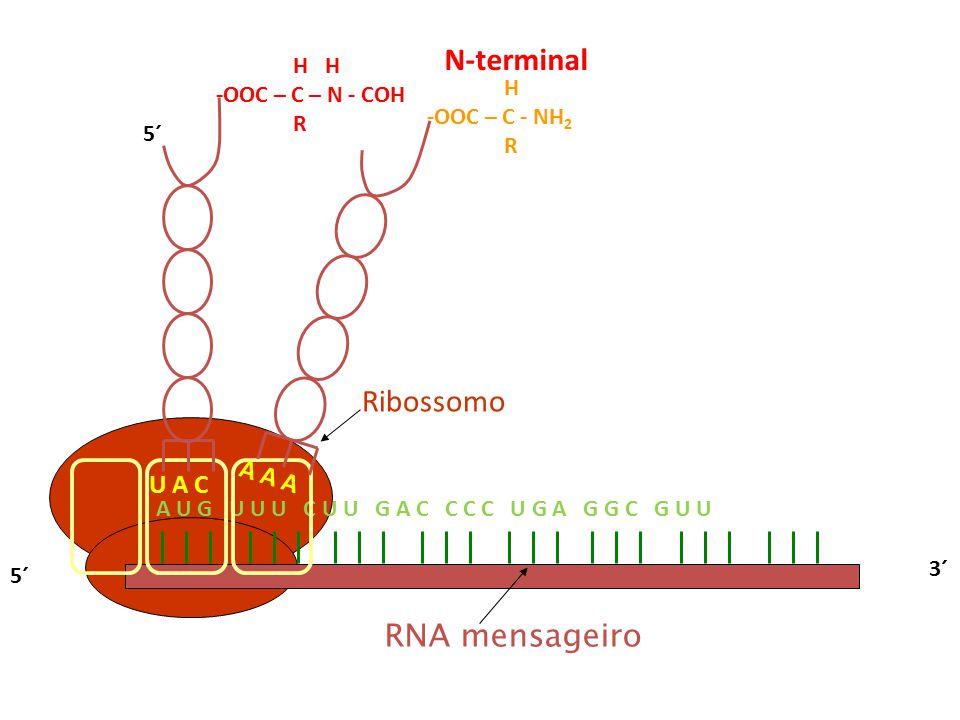 N-terminal Ribossomo RNA mensageiro A A A U A C H H -OOC – C – N - COH