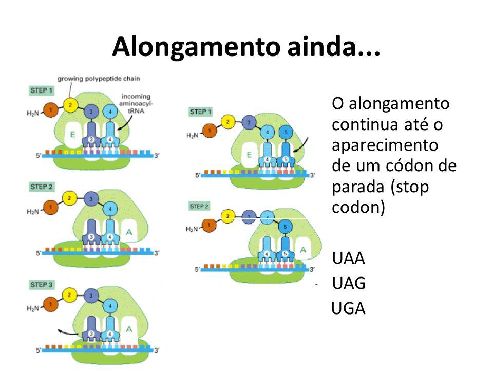 Alongamento ainda... O alongamento continua até o aparecimento de um códon de parada (stop codon) UAA.