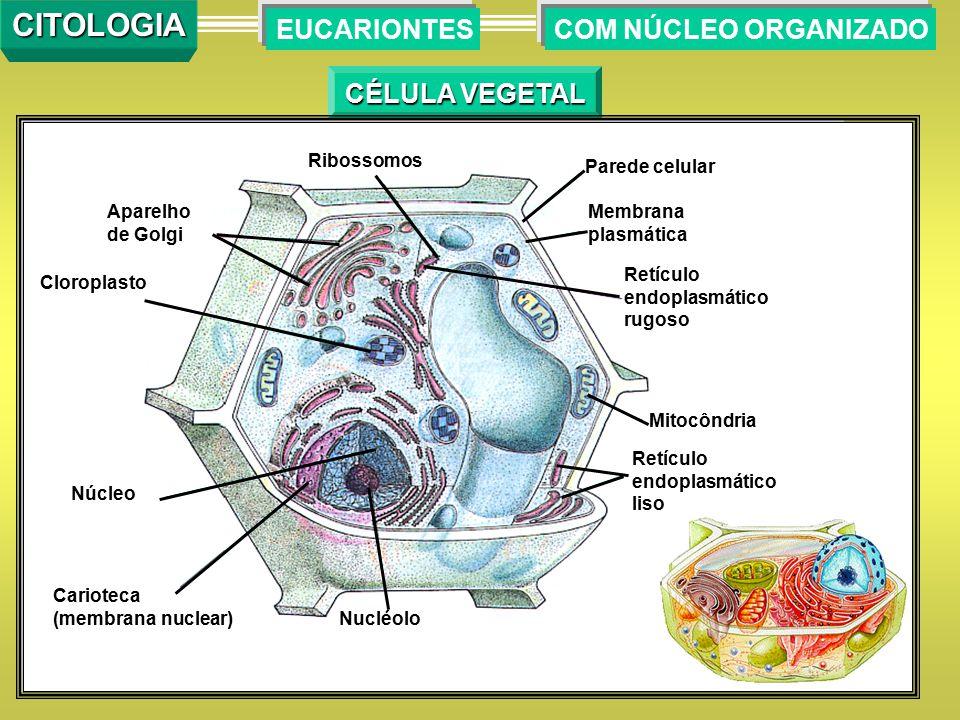 CITOLOGIA EUCARIONTES COM NÚCLEO ORGANIZADO CÉLULA VEGETAL Ribossomos