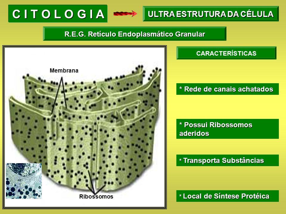 ULTRA ESTRUTURA DA CÉLULA R.E.G. Retículo Endoplasmático Granular