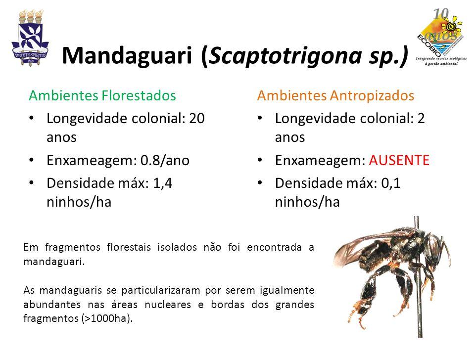 Mandaguari (Scaptotrigona sp.)