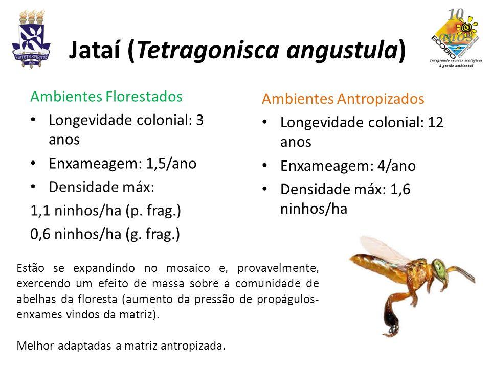 Jataí (Tetragonisca angustula)