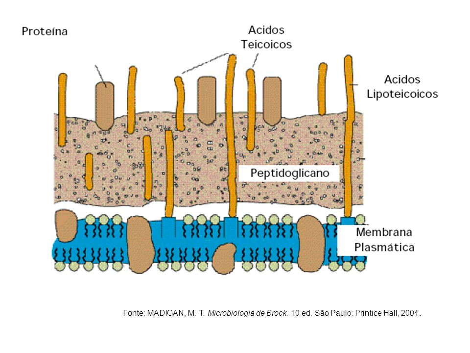 Fonte: MADIGAN, M. T. Microbiologia de Brock. 10 ed