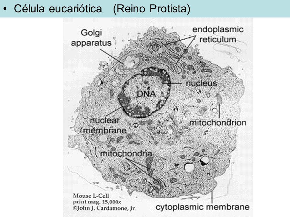 Célula eucariótica (Reino Protista)