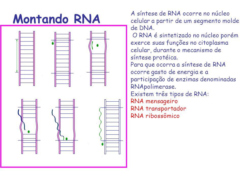 A síntese de RNA ocorre no núcleo celular a partir de um segmento molde de DNA.