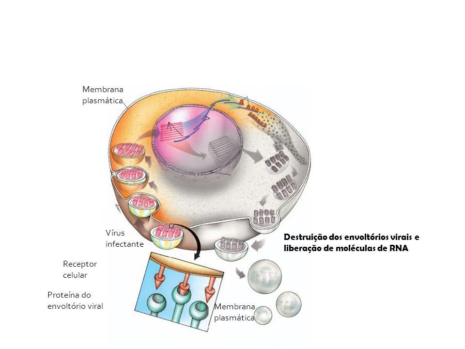 Membrana plasmática Vírus infectante. Destruição dos envoltórios virais e liberação de moléculas de RNA.