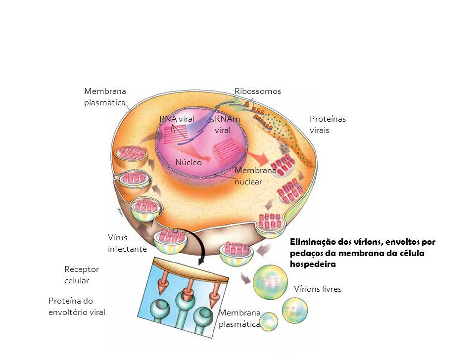 Membrana plasmática Ribossomos. RNA viral. RNAm viral. Proteínas virais. Núcleo. Membrana nuclear.