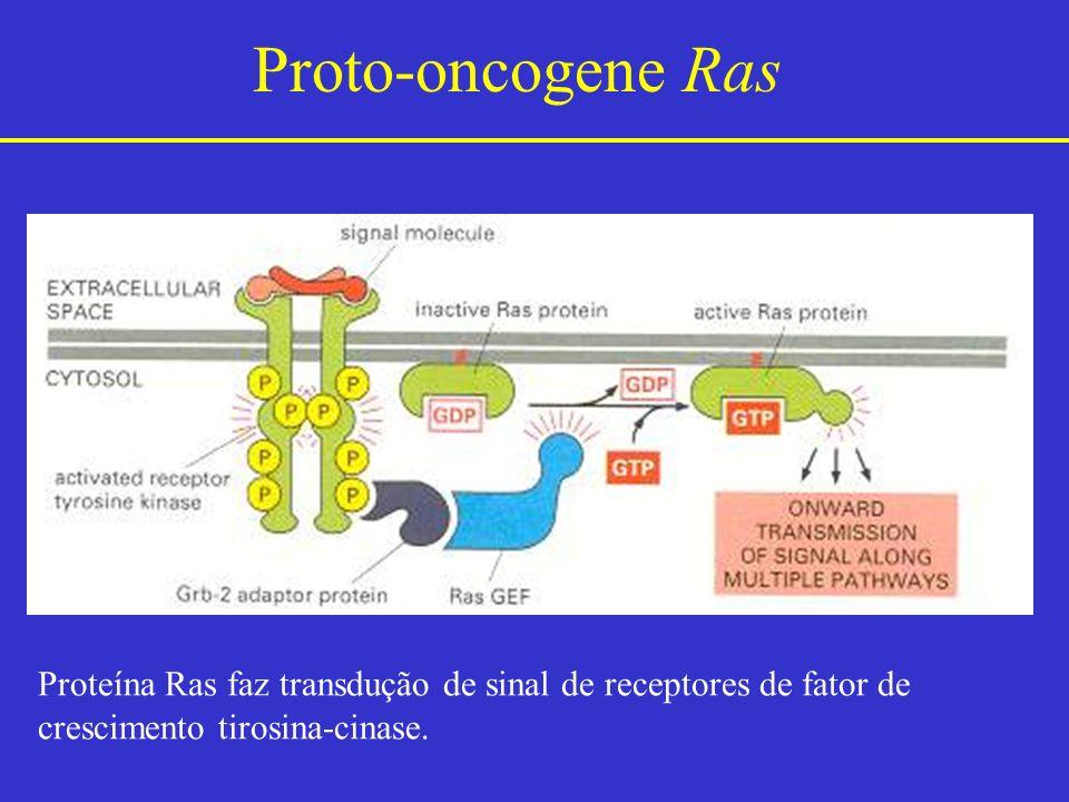 Proto-oncogene Ras Proteína Ras faz transdução de sinal de receptores de fator de.