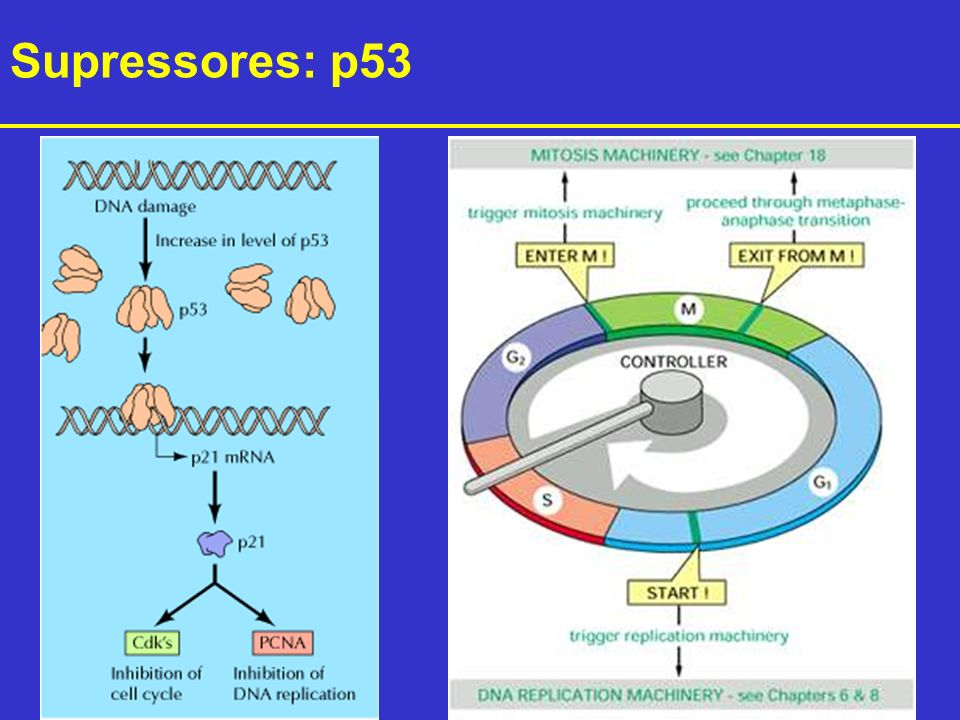 Supressores: p53