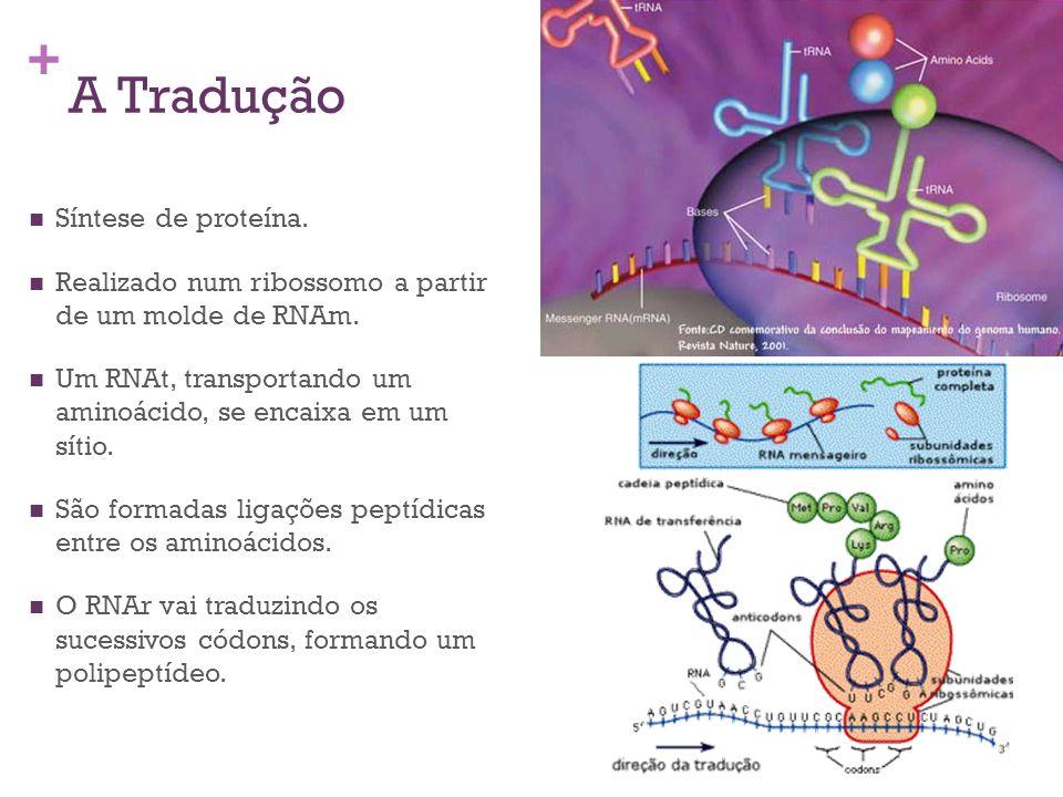 A Tradução Síntese de proteína.