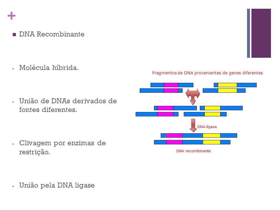 DNA Recombinante Molécula híbrida. União de DNAs derivados de fontes diferentes. Clivagem por enzimas de restrição.