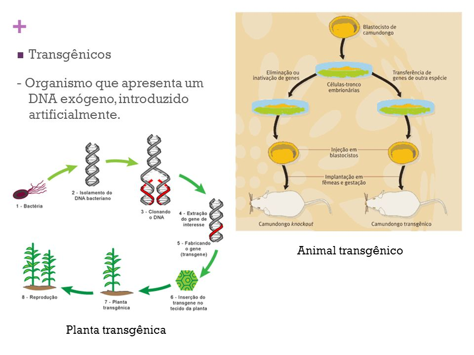 - Organismo que apresenta um DNA exógeno, introduzido artificialmente.