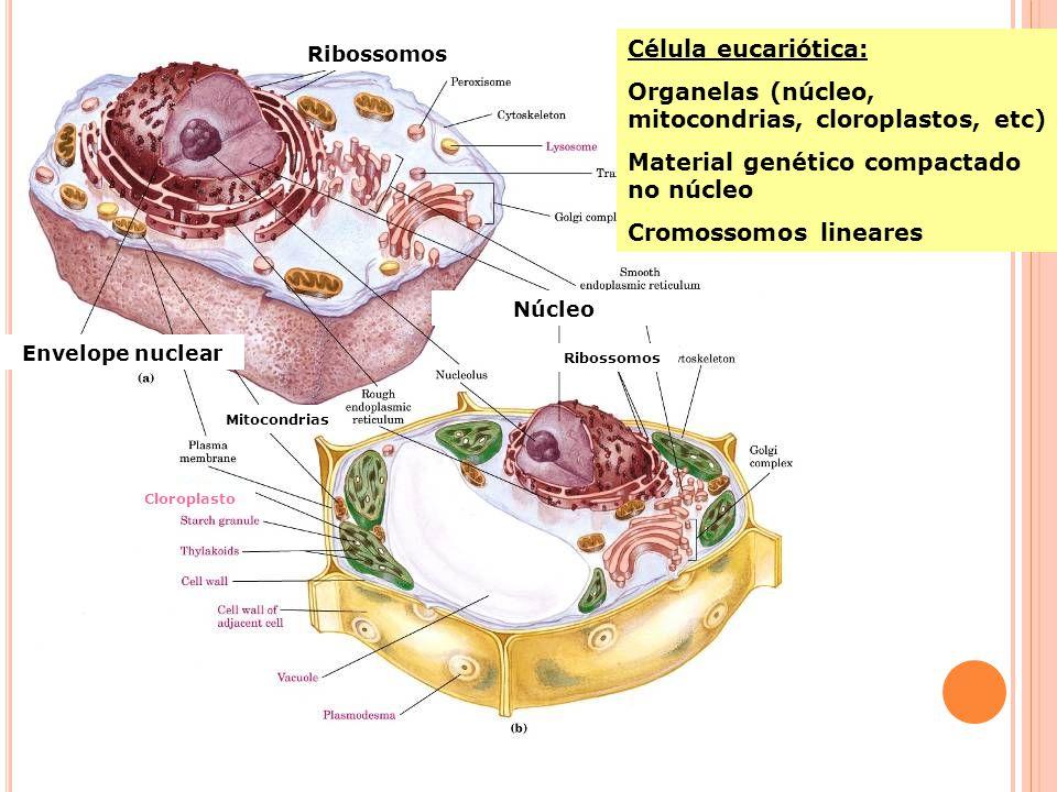 Organelas (núcleo, mitocondrias, cloroplastos, etc)