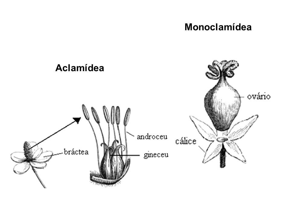 Monoclamídea Aclamídea
