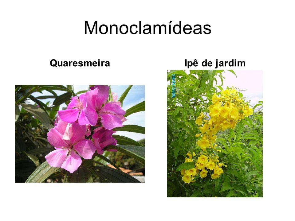Monoclamídeas Quaresmeira Ipê de jardim