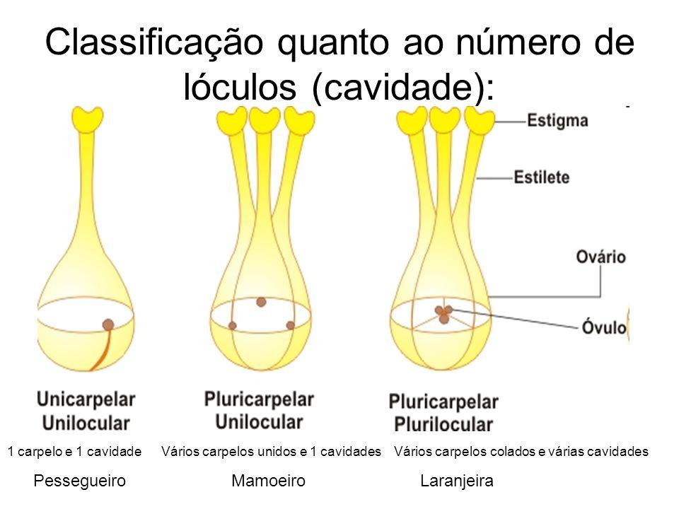 Classificação quanto ao número de lóculos (cavidade):