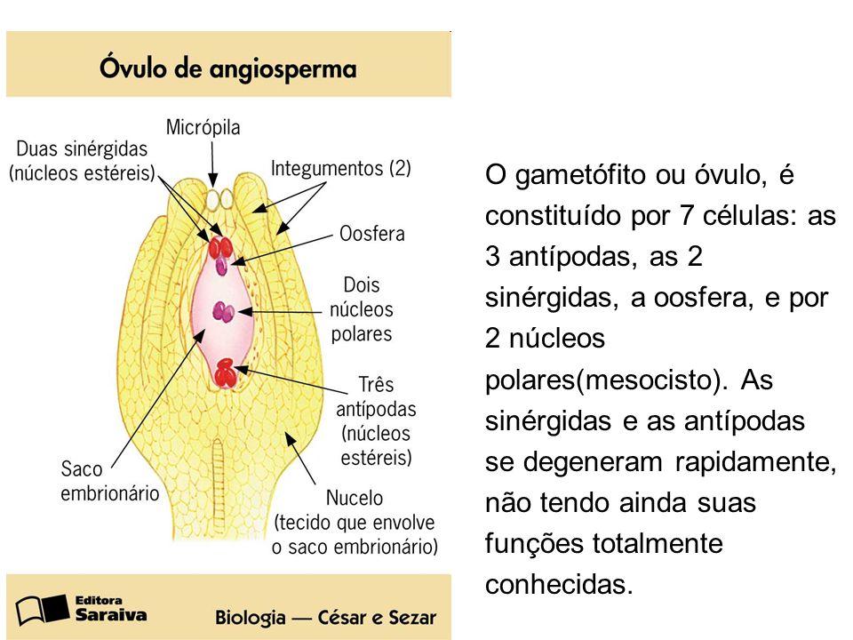 O gametófito ou óvulo, é constituído por 7 células: as. 3 antípodas, as 2. sinérgidas, a oosfera, e por.