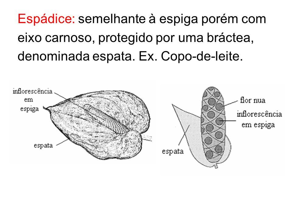 Espádice: semelhante à espiga porém com eixo carnoso, protegido por uma bráctea, denominada espata.