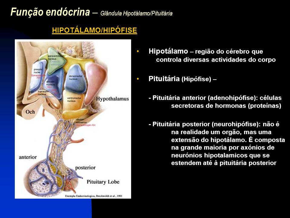 Função endócrina – Glândula Hipotálamo/Pituitária