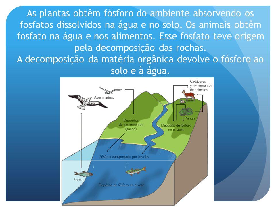 As plantas obtêm fósforo do ambiente absorvendo os fosfatos dissolvidos na água e no solo.