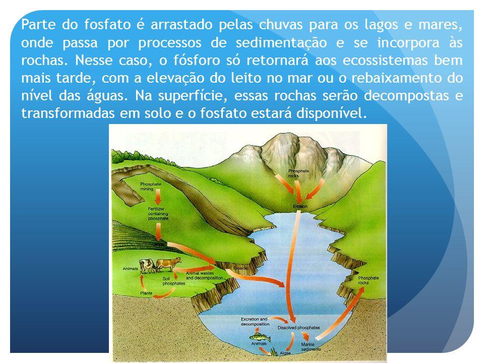 Parte do fosfato é arrastado pelas chuvas para os lagos e mares, onde passa por processos de sedimentação e se incorpora às rochas.