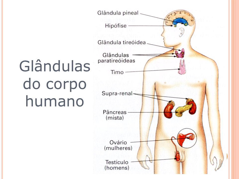 Glândulas do corpo humano