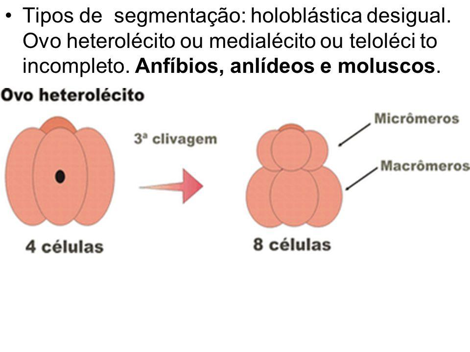 Tipos de segmentação: holoblástica desigual
