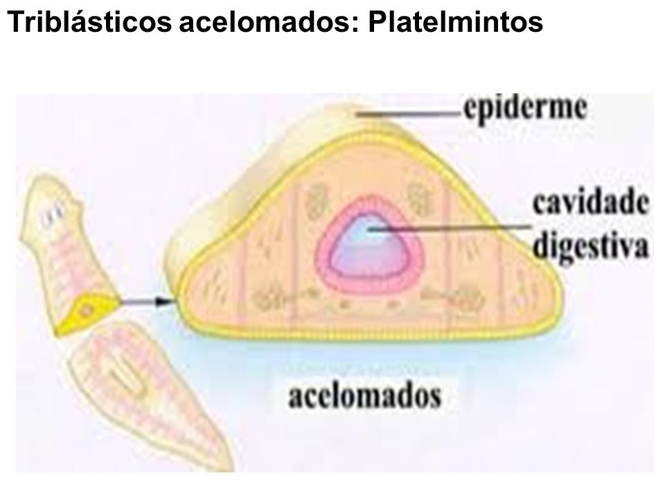 Triblásticos acelomados: Platelmintos