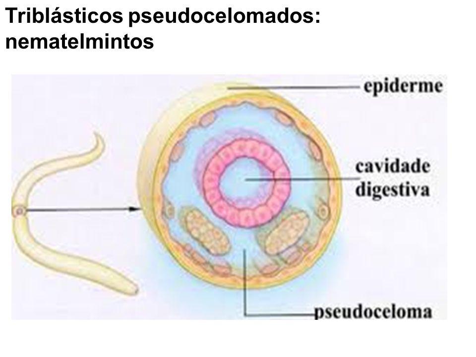 Triblásticos pseudocelomados: nematelmintos