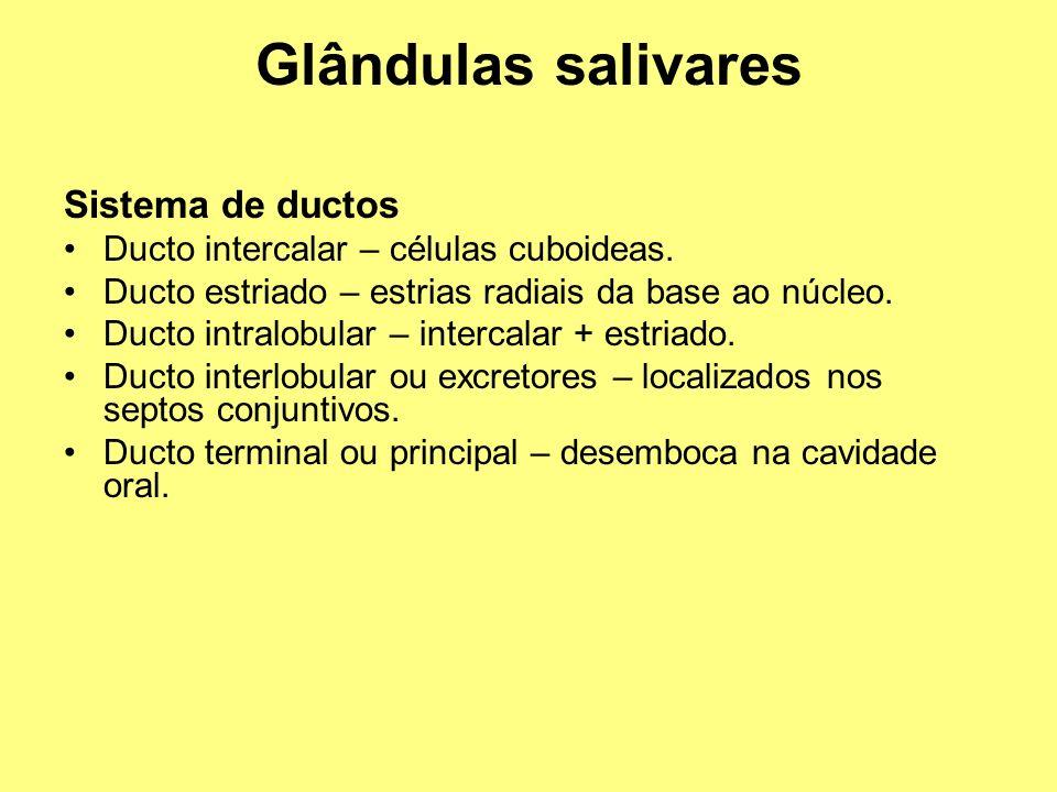 Glândulas salivares Sistema de ductos