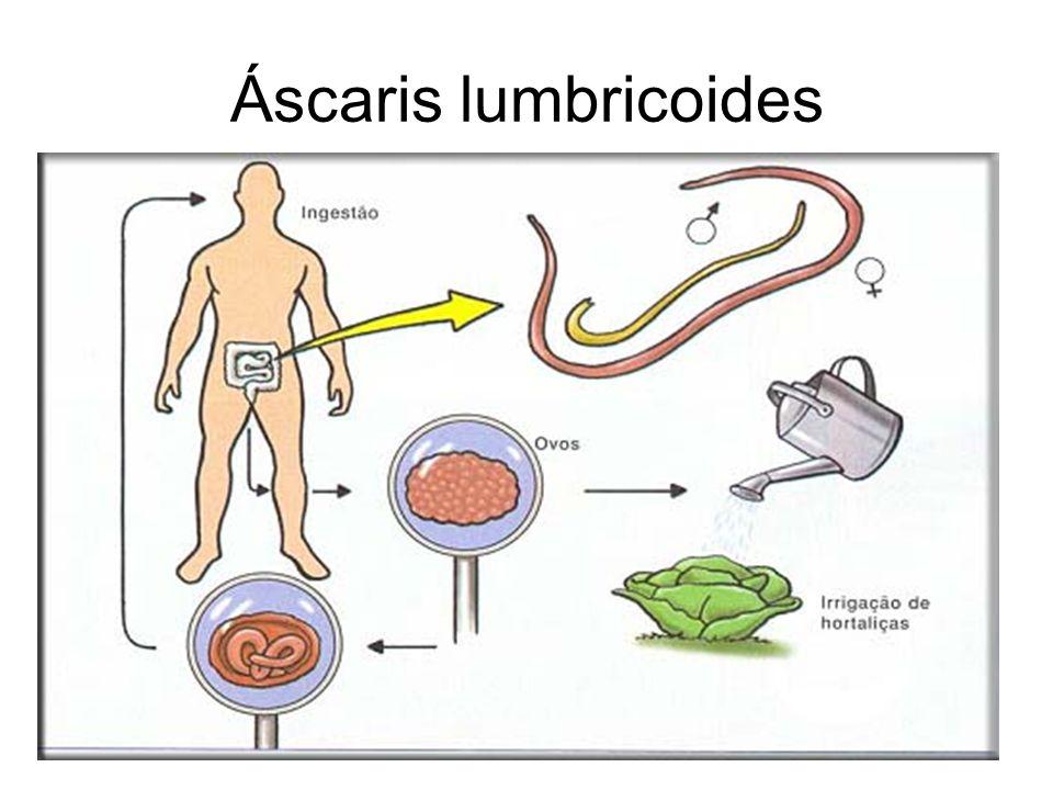 Áscaris lumbricoides