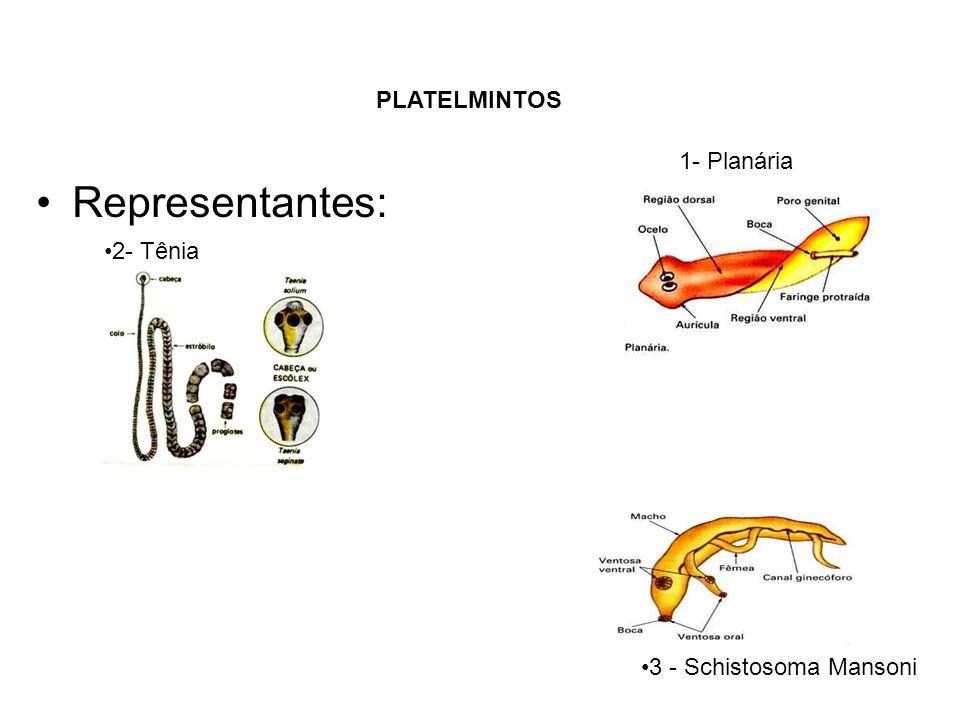 Representantes: PLATELMINTOS 1- Planária 2- Tênia