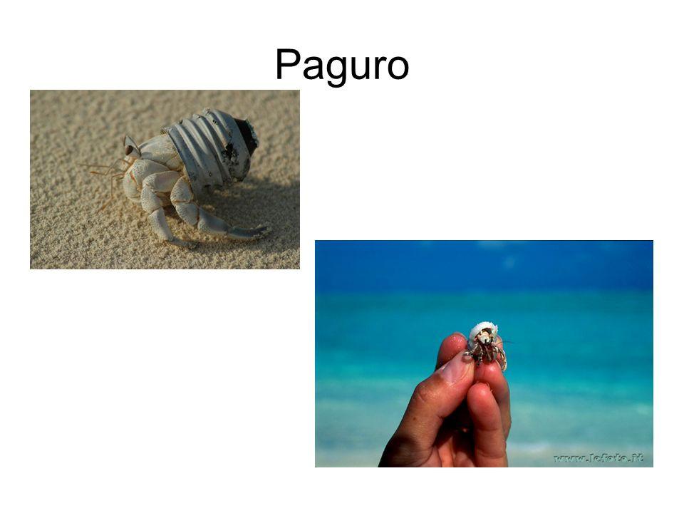 Paguro