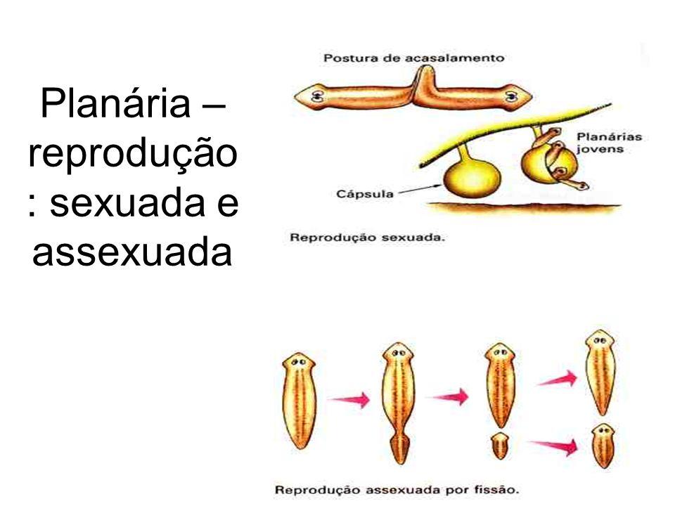 Planária – reprodução: sexuada e assexuada