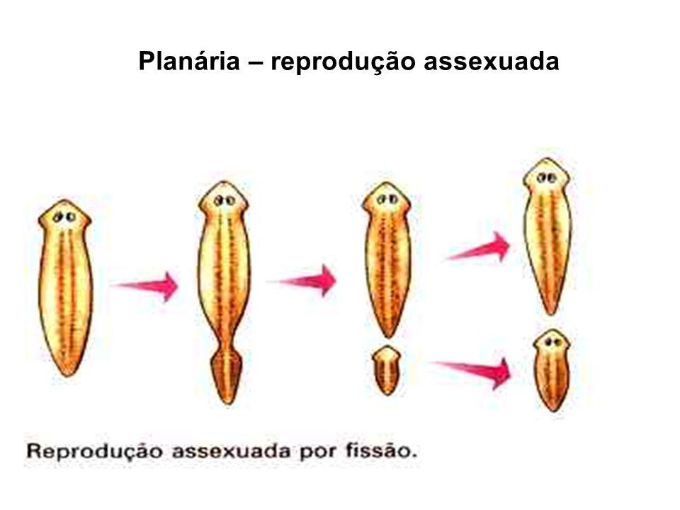 Planária – reprodução assexuada