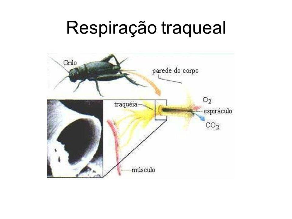 Respiração traqueal
