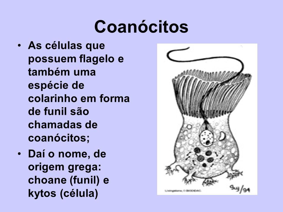 Coanócitos As células que possuem flagelo e também uma espécie de colarinho em forma de funil são chamadas de coanócitos;
