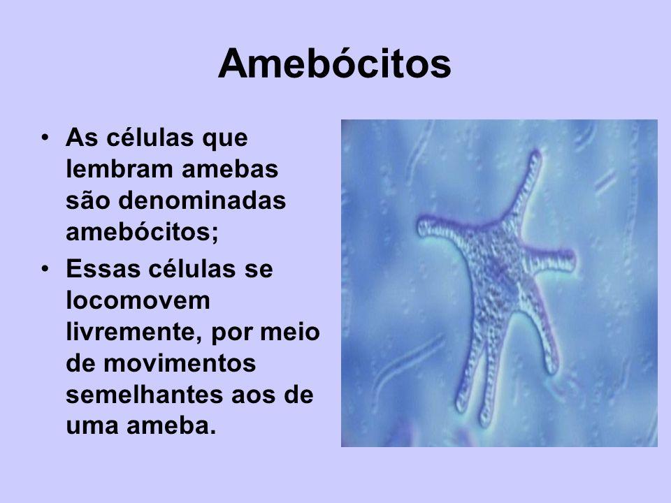 Amebócitos As células que lembram amebas são denominadas amebócitos;