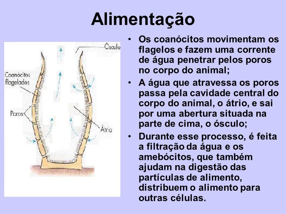 Alimentação Os coanócitos movimentam os flagelos e fazem uma corrente de água penetrar pelos poros no corpo do animal;