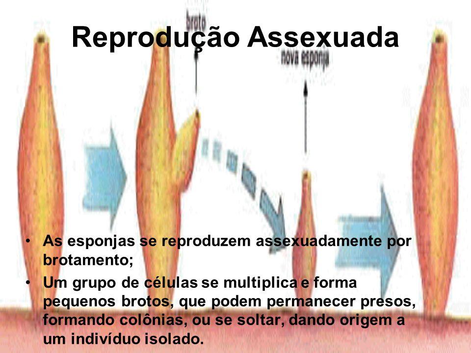 Reprodução Assexuada As esponjas se reproduzem assexuadamente por brotamento;