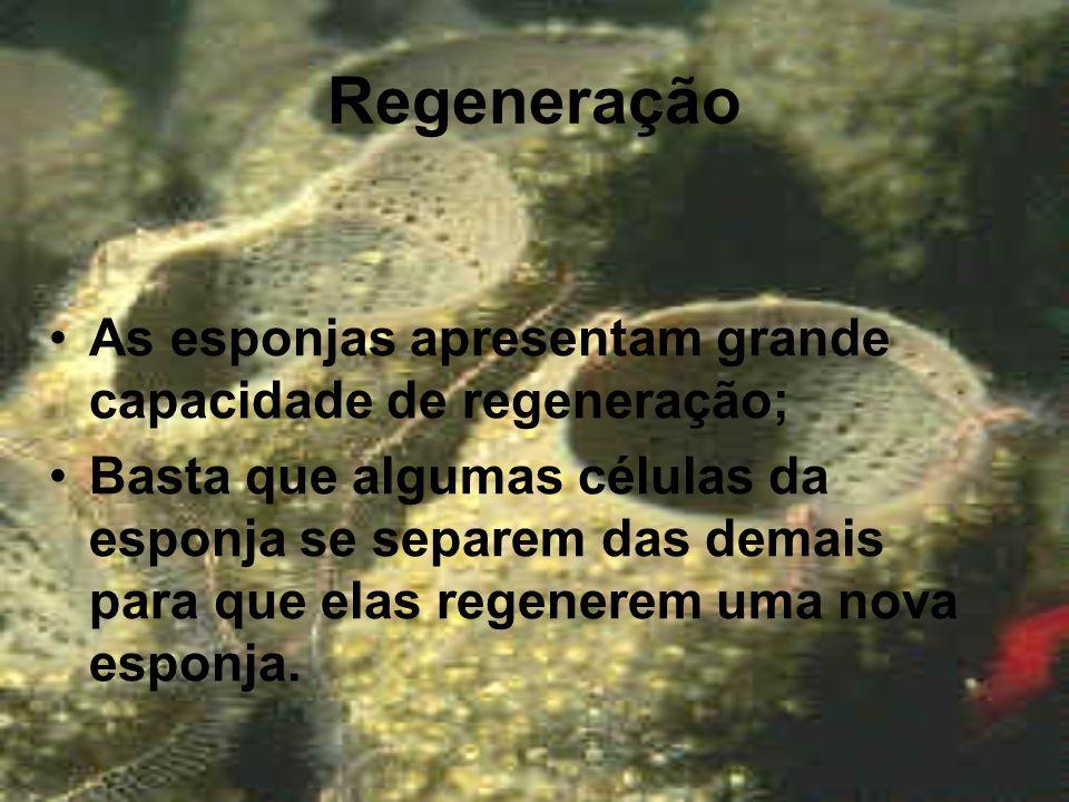 Regeneração As esponjas apresentam grande capacidade de regeneração;