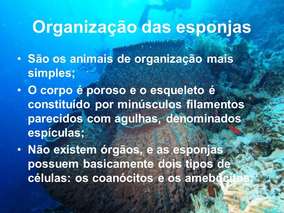 Organização das esponjas
