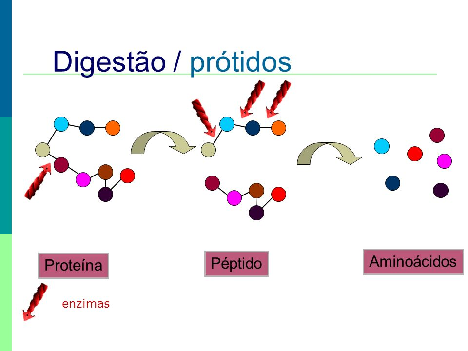 Digestão / prótidos Péptido Aminoácidos Proteína enzimas