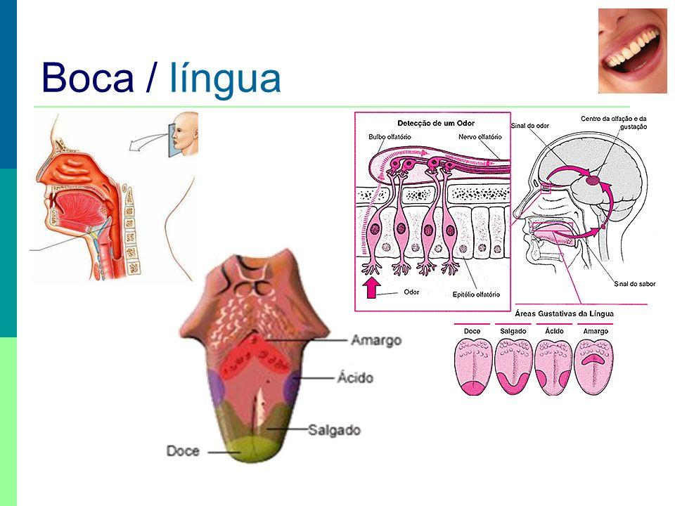 Boca / língua Digestão mecânica – ensalivação - a língua mistura os alimentos com a saliva.
